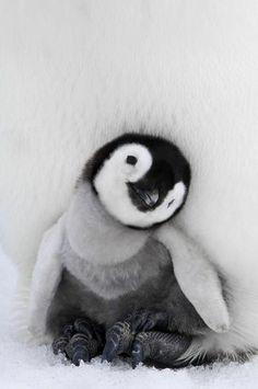 Que tierno!!! Baby Penguin