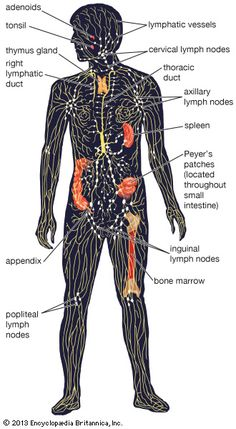 A subsystem of the circulatory system in the vertebrate body that consists of a complex network of vessels, tissues, and organs. The lymphatic system helps maintain fluid balance...