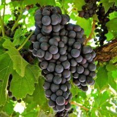 Primitivo clone 2, Ripken Vineyards, Lodi AVA. Photography by Randy Caparoso.