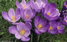 Stellar show: The crocus tommasinianus gives a star performance to welcome spring