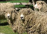 Leicester Longwool Sheep bred in Williamsburg, VA