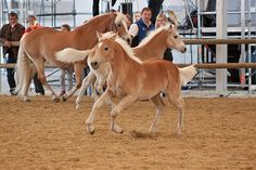 Haflinger Foal_11 by CalyHoney