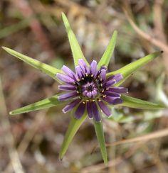Plantas: Beleza e Diversidade: Recapitulando: Barba-de-bode (Tragopogon porrifolius)