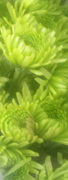 Lime Green Mums