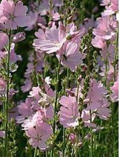 Sidalcea 'My Love'. This upright perennial flowers July-August. The flowers have a silky sheen to the petals and will grow up to around 1.5m.