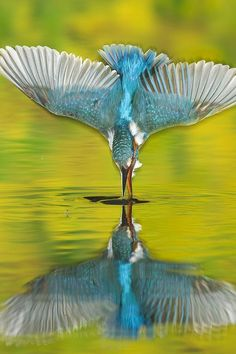Male Common Kingfisher dives into water