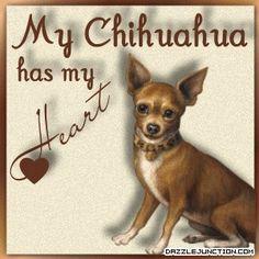Heart My Chihuahua Raza Chihuahua, Chihuahua Quotes, Teacup Chihuahua, Chihuahua Puppies, Dog Quotes, Cute Puppies, Cute Dogs, Chihuahuas, Dachshund