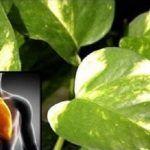 Planta purifica o ar de sua casa e desintoxica os pulmões da nicotina