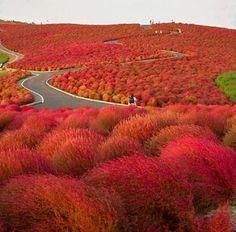 Kochia Hill | Hitachinaka City Japan Atlas Obscura