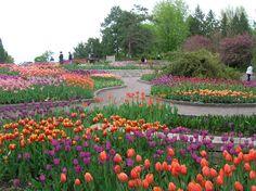 Tulip Heaven at Minnesota Landscape Arboretum.