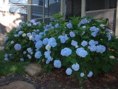PlantFiles Pictures: Bigleaf Hydrangea, French Hydrangea, Mophead 'Nikko Blue' (Hydrangea macrophylla) by boneyween Macrophylla, Plants, Shrubs, Plants Delivered, Flowering Shrubs, Hydrangea Macrophylla, All Plants, Flower Garden, Live Plants