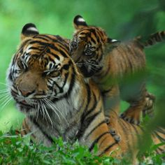 Cubs will be cubs… - Sumatran Tigers @ Washington DC / US National Zoo by Nikographer [Jon]
