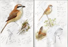 Brown Shrike Sept 2008 Photo: This Photo was uploaded by gomphus_photos. Find other Brown Shrike Sept 2008 pictures and photos or upload your own with P. Watercolor Sketchbook, Artist Sketchbook, Watercolour Birds, Bird Artists, Bird Sketch, Nature Sketch, Artist Journal, Rare Birds, Animal Sketches