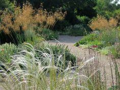 Stipa barbata in front and Stipa gigantea behind, in Beth Chatto Gardens