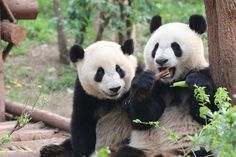 Hmm... That looks delicious... - Breakfast time at the Chengdu Panda Base.