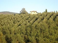 olive grove in Tuscany
