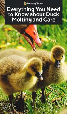 Understanding the molting process of your ducks are not as straighforward as with chickens. We dive into the reasons for duck molting and when to expect it. Raising Ducks, Raising Chickens, Welsh Harlequin Duck, Duck House Plans, Duckling Care, Duck Diapers, Backyard Ducks, Duck Farming, Pet Ducks