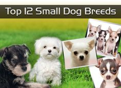 Top 12 Small Dog Breeds https://didyouknowpets.com/2015/04/21/top-12-small-dog-breeds/