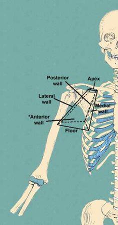 axillary walls #anatomy #ot #pt
