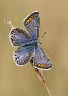 Common Blue Polyommatus icarus by Iain Leach