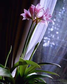 Gärtnert im Winter einfach drinnen weiter - mit Amaryllis