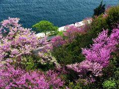 Istanbul'da erguvan mevsimi....Renkler ve çelişkiler şehri.  Judas trees in Istanbul....City of colours and conflicts.