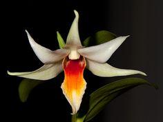 Dendrobium draconis x tobaense