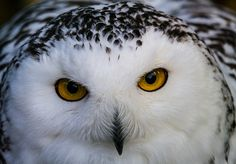 snow owl portrait
