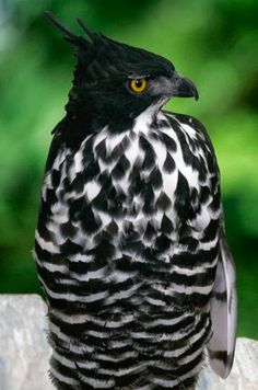 blythe hawk-eagle | A1 Pictures