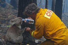 "Bushfire Relief Koalas are very rarely seen drinking (it's thought they get their water from leaves), so this photo of Victorian fire fighter Dave Tree sharing a drink — and a hand — with this fire victim, dubbed Sam, astonished Australians and flashed around the world. During his encounter, Tree said, ""You watch. He'll get hydrated then he'll rip the absolute f___ing s__t out of me."""