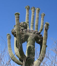 """One beautiful and indeed amazing crested Saguaro. This is a rare formation in saguaro cacti called """"cresting"""". I've been told it occurs 1 in 250,000 saguaros."""