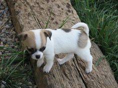 Missy x Boogie, Sable spotted on white smoothcoat chihuahua puppy