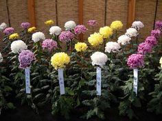 "Ogiku (""Single Stem"") Chrysanthemums (KIKU - The Art of the Japanese Chrysanthemum)"