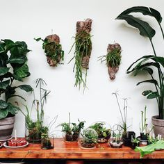 We just adore epiphytic cacti. And what better way to display such beautiful specimens than to mount them on cork?