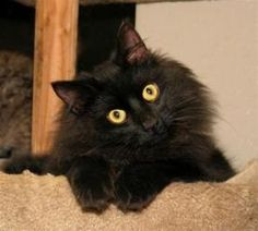 Kringle is an adoptable Domestic Long Hair-Black Cat in Milford, MA. Kringle is the latest arrival in our FIV room. He is about a year old, with solid black, long, thick, soft fur. He is one of the ...