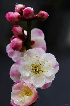 家の梅が咲きました!  At my house, the ume blossoms are opening.