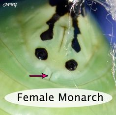 How can you tell the sex of a monarch by looking at its chrysalis? Male vs Female Chrysalis and Butterfly Photos butterfly pictures Female or Male Monarch Butterfly? See the Differences. Butterfly Hatching, Butterfly Cage, Butterfly Chrysalis, Butterfly Garden Plants, Butterfly Feeder, Monarch Butterfly, Butterfly Pavilion, Origami Butterfly, Planting Flowers