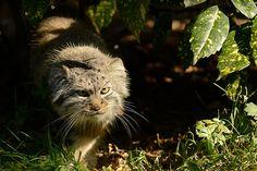 Manul (Pallas Cat)