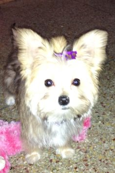Ginger-teacup #morkie #dogs #cute