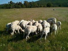 El proceso de recría en nuestra ganadería http://www.lechazocharro.es/el-proceso-de-recria-en-nuestra-ganaderia/