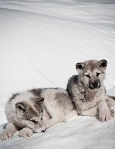 Greenland Puppies  by*rainbowgirl*