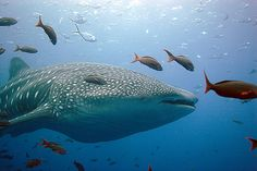 Whale Shark -- Galapagos Islands by WaterPlanet