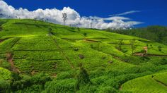 The sprawling tea fields of Ella, Sri Lanka / Discover the beauty of Sri Lanka with these Photos   The Planet D Adventure Travel Blog