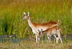 Red Lechwe (Kobus leche). The lechwe is an antelope found in Botswana, Zambia, southeastern D.R.C., northeastern Namibia, and eastern Angola, especially in the Okavango Delta, Kafue Flats and Bangweulu Swamps. Lechwe are found in marshy areas where they eat aquatic plants. Their legs are covered in a water-repellant substance which allows them to run quite fast in knee-deep water.  Moremi Wildlife Reserve, Okavango Delta, Botswana, Africa  © Konstantinos Arvanitopoulos Photography.