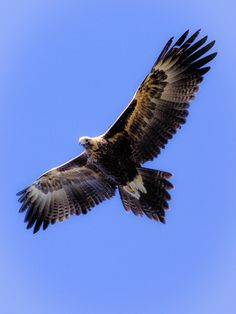 VS.                    Wedge-tailed Eagle (Aquila audax)