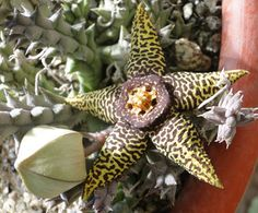 Mis Plantas - My plants: Orbea Speciosa