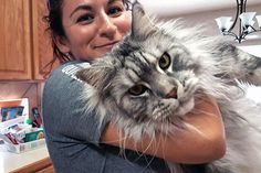 """The Maine Coon cat is among the biggest domestic breeds of cats. Actually, the record for the """"longest cat"""" in the 2010 Guinness World Records was achieved by Stewie, with 48.5 in."""