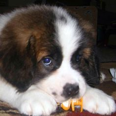 I would never want a St. Bernard... but how cute is this face?