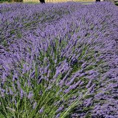 Grosso spike lavender forms a mound of fragrant, silvery green foliage 1-2' high & wide. Rich violet flowers shoot up to 3' in July-Aug. Best when you prune back hard after blooming.