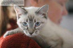 Adopt Siamese Cat